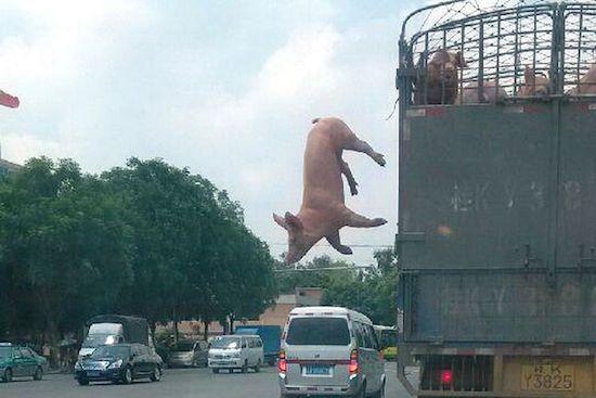 豚、空を飛ぶ(中国)に関連した画像-03