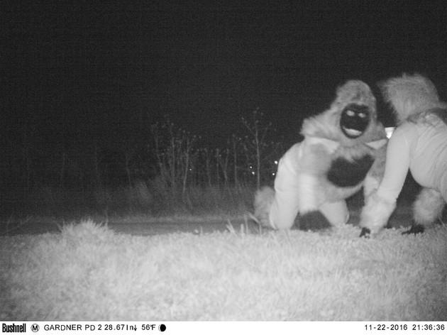野生のピューマに関連した画像-11