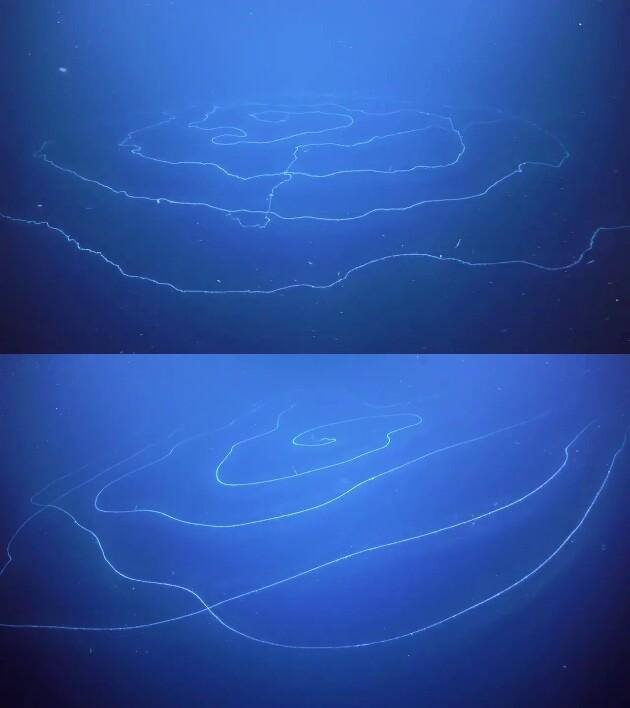 アポレミア(Siphonophore Apolemia)に関連した画像-02