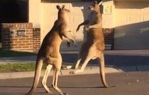 野生のカンガルーが喧嘩に関連した画像-02