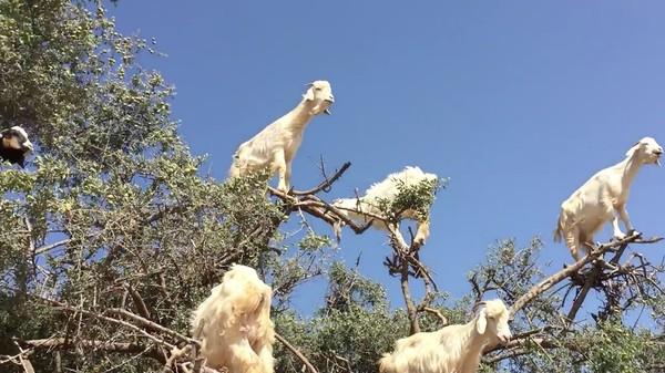 ヤギが実る木に関連した画像-03