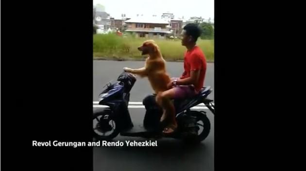 インドネシアで「バイクを運転する犬」に関連した画像-03