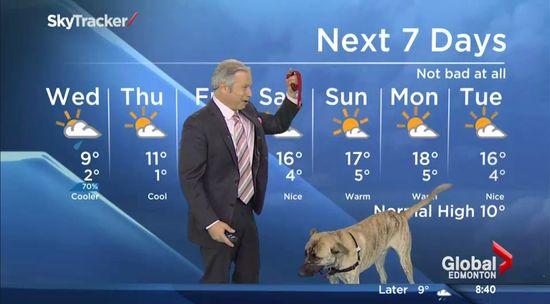 お天気コーナーで格闘する予報士と犬に関連した画像-03