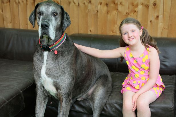 犬 グレートデーン ギネスに関連した画像-01