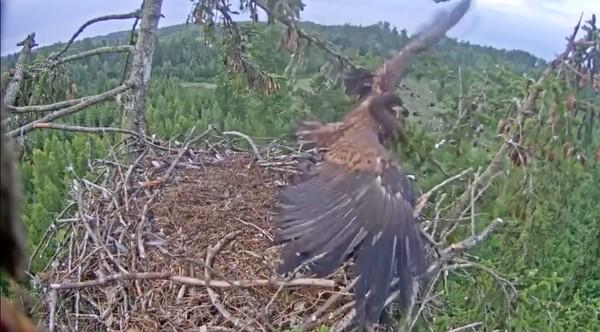 巣にうまく着陸できなかったワシに関連した画像-06