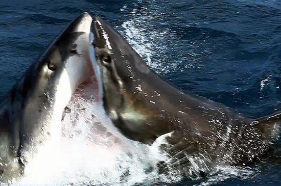 ホオジロザメに関連した画像-01