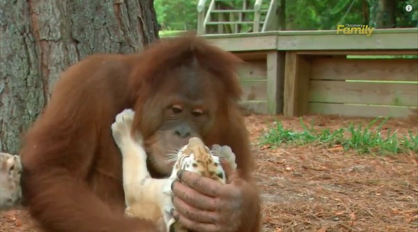 オランウータンがトラを子育てに関連した画像-02