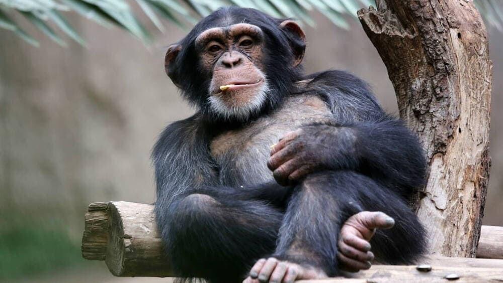 ベルギー 動物園 チンパンジー