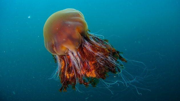 イギリス クラゲ 巨大に関連した画像-01