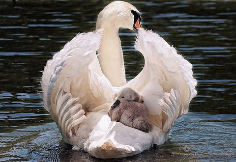 swan-4208564__340