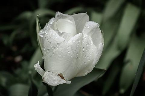tulip-4015516__340