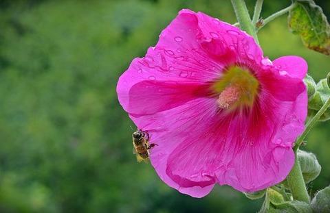 althaea-rosea-1581435__340