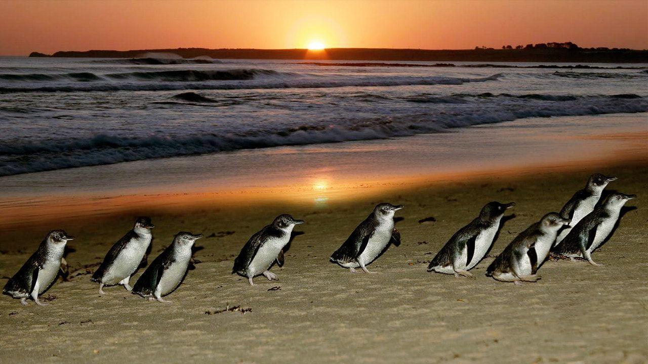 フィリップ島のペンギンパレードツアー