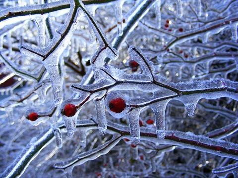 plants frozen in ice storm 25