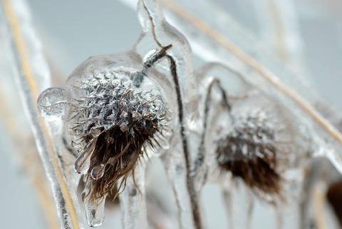 plants frozen in ice storm 8