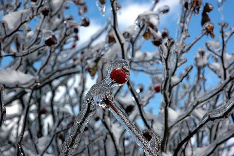 plants frozen in ice storm 6