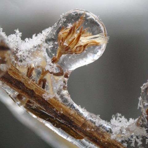 plants frozen in ice storm 5