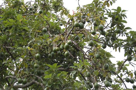 avocado-tree-close-up