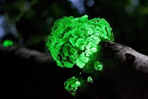 bioluminescent-mushroom-fungus-panellus-stipticus