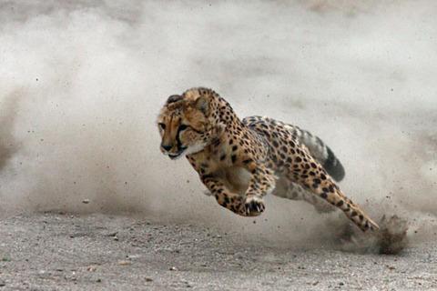 92-cheetah-12-05c91a20-sz850x566-animate