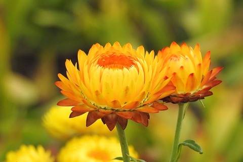 straw-flowers-1641578_1920