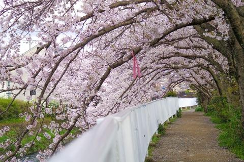 京都 有栖川 桜トンネル