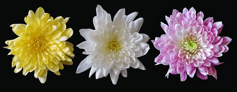 chrysanthemum-2187964