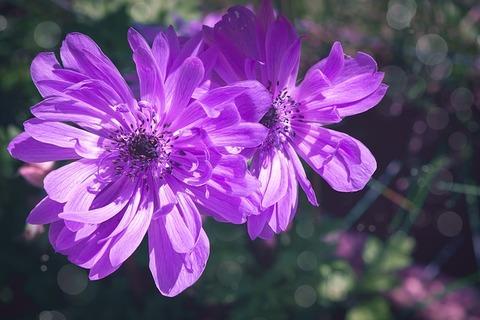 anemone-3987204_640