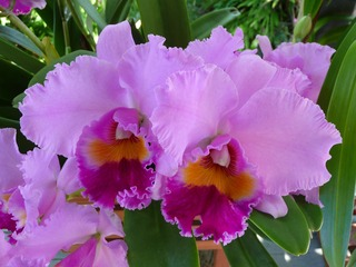 orchid-1521085_1920