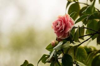 camellia-2520274_960_720