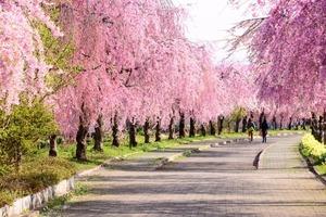 枝垂れ桜 並木道 喜多方