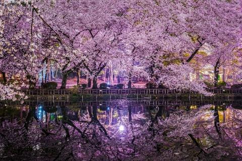 井の頭恩賜公園の夜桜