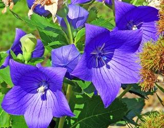 ballon-flower-20879_960_720[1]