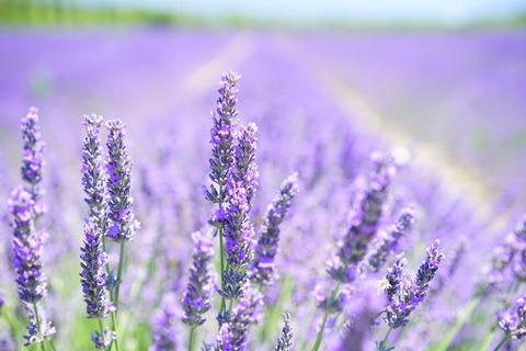 lavender-blossom-1595581