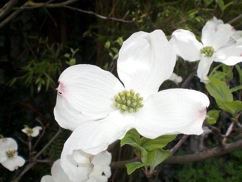 ハナミズキ花