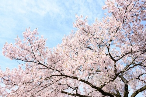 桜イメージ表紙