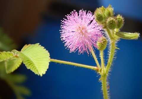 mimosa-pudica-2822997_1920