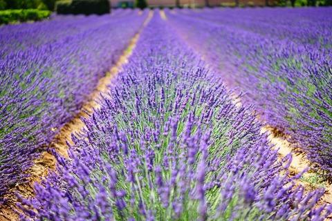 lavender-flowers-1595487