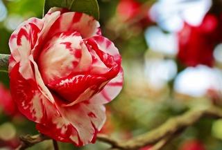 camellia-3327241_960_720