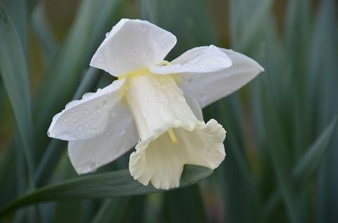 daffodil-4124792_640