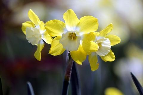 daffodils-3665971_640