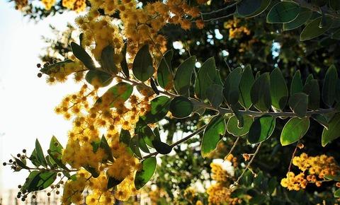 acacia-tree-424590_640