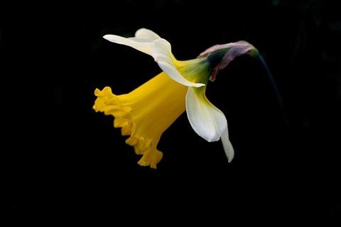 daffodil-2642550_640