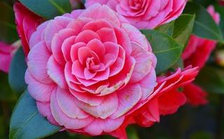 camellia-2182851_960_720