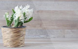 hyacinthus-orientalis-1277753_960_720