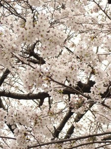 sakura2011 004