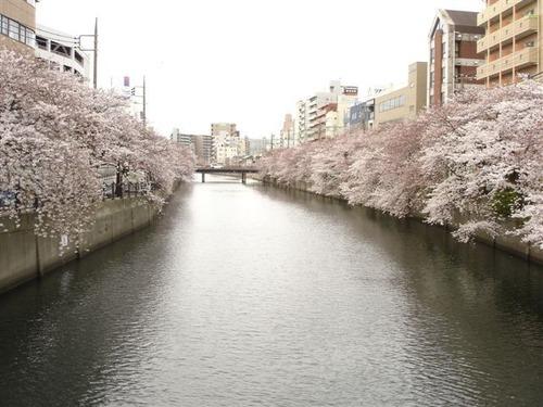 sakura2011 001