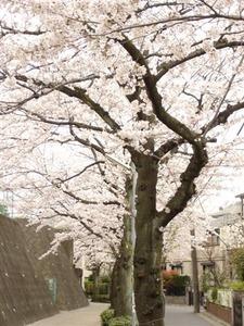 sakura2011 006
