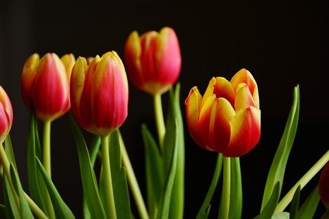 tulips-2048324_640