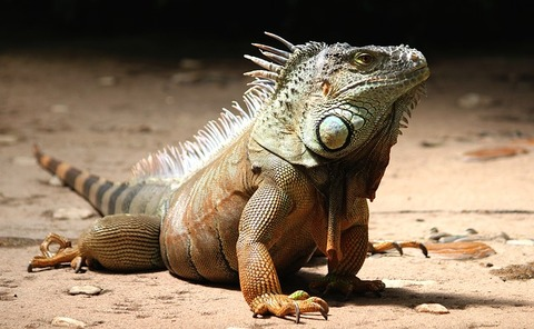 iguana-2039719_640